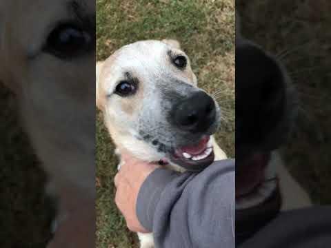 Libby, an adoptable Australian Cattle Dog / Blue Heeler Mix in Wilmington, DE