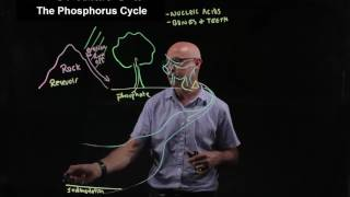 The phosphorus cycle