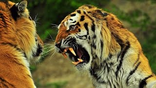 Tiger VS Lion (Roar)