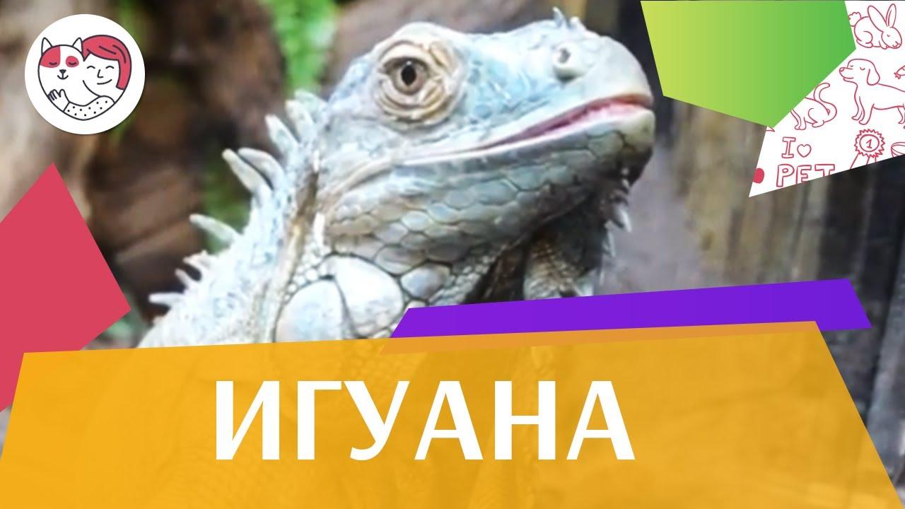 Игуана Внешний вид  на ilikepet