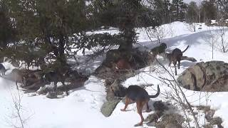 BOBCAT HUNTING WITH HOUNDS IN THE COLORADO ROCKIES #6
