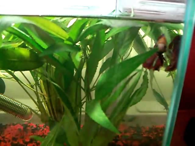 My Male Betta (fighting fish) and Neon Tetras in 6 Gallon Tank