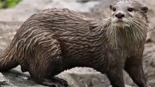 Endangered Otters!