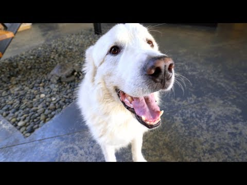 10 Tips for a Happy Great Pyrenees