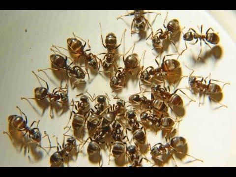 Как избавиться от муравьев в квартире ! Самый надежный и эффективный способ !
