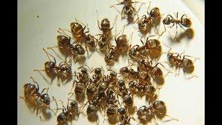 Приманка брос bros от фараоновых рыжих муравьев