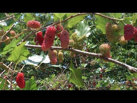 Video Budidaya Pohon Murbei