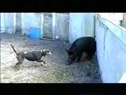 Catahoula Leopard Dog In Control Of Wild Boar In Training