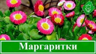 Маргаритки – выращивание из семян