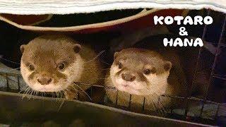 カワウソコタローとハナ 先に寝ようとすると怒られるコタロー Otter Kotaro&Hana Peek-A-Boo Bedtime