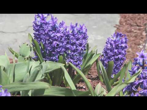 Посадка гиацинтов – куда и как сажать гиацинты в открытый грунт