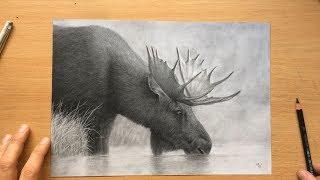 Moose Charcoal Pencil Drawing - Wildlife Art