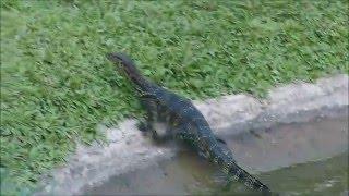 2015-07-28 Water Monitor, Ubud, Bali