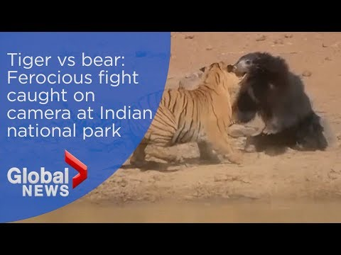 Tiger vs bear: Ferocious fight caught on camera at Indian national park