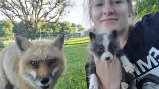 Finnegan Fox And His Fox Pup