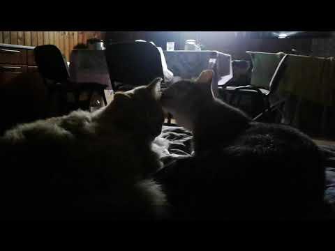 Кошки лижутся