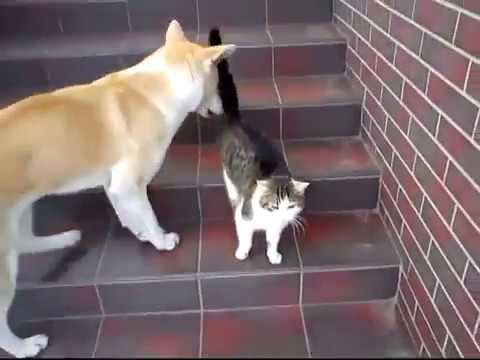 Anteprima Video Akita Inu gioca con un gattino