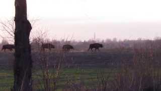 preview picture of video 'Herd of European Bison/ Bison bonasus/ near Hajnówka'