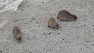 Dassie sandbathing