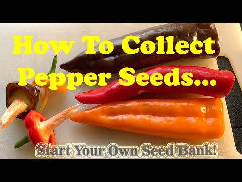 , title : 'How to collect Pepper Seeds for AeroGarden or Garden | FUN! 🌶