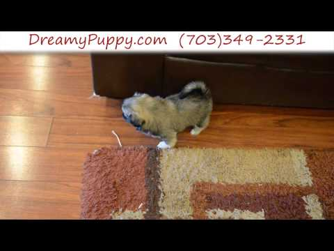 Super Cute Toy Pekezue Female Puppy
