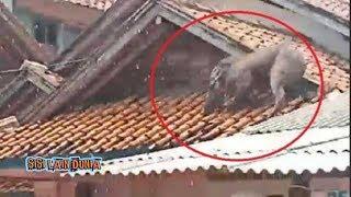 Gambar cover Detik-detik Mendebarkan Babi Ngepet  di Atap Rumah Di Tangkap Warga !!