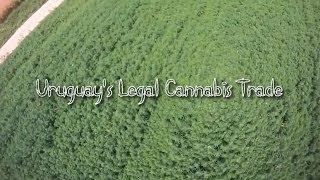 Uruguay's Legal Cannabis Trade (New Documentary)