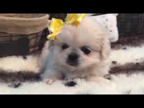Soft as cotton Pekingese baby girl