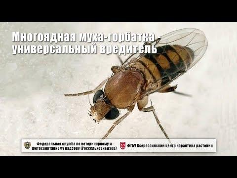 Многоядная муха-горбатка - универсальный вредитель