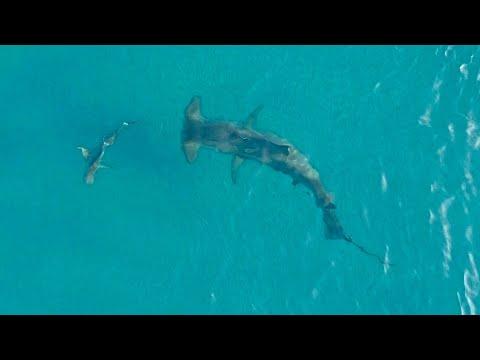 Massive Hammerhead Hunts Blacktip Sharks