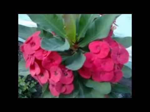 Video tanaman hias euphorbia merah