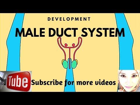 Contracțiile musculare ale penisului