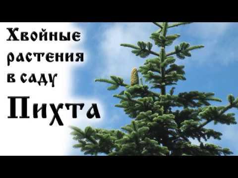 Хвойные растения в саду Пихта