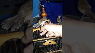 Anakan Burung Cikrok Kerakbasi Kang Budi