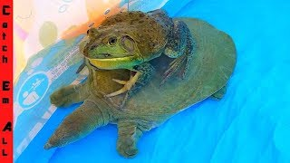 FROG RIDES TURTLE from BIG FISH!