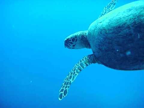 Schildkröte im Freiwasser, Abu Dabbab (Marsa Alam),Ägypten