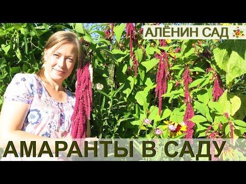 ВСЁ о выращивании АМАРАНТА!!! От посева до сбора урожая