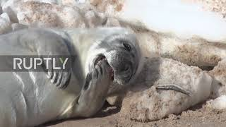 Baby seals get their vitamin D fix basking in Latvian sun