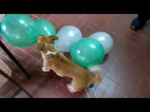 Perro explota globos