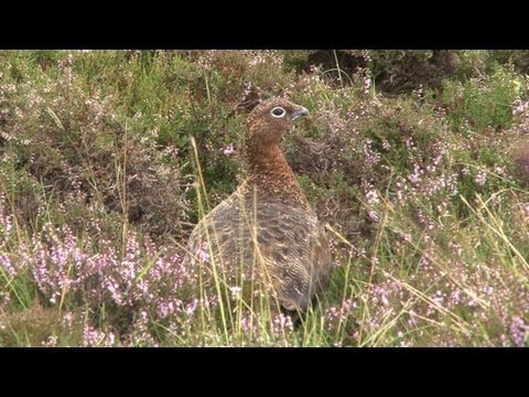 Grouse shooting in Perthshire on Atholl Estates