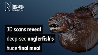 3D scans reveal deep-sea anglerfish's huge final meal | Natural History Museum