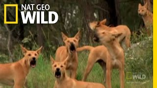 Dingo Fast Food   Nat Geo Wild