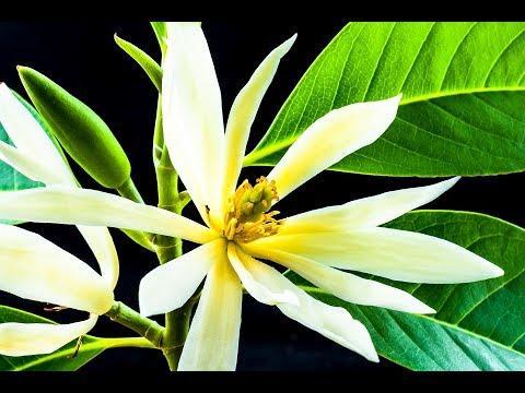 Video Ternyata Inilah Manfaat dan Khasiat Bunga Cempaka Putih yang Belum Banyak Diketahui