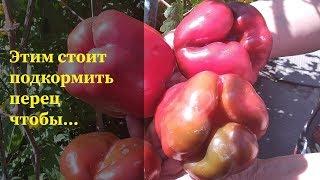 СЕКРЕТЫ выращивания перца|Особенности выращивания в открытом и закрытом грунте|Подкормка сывороткой