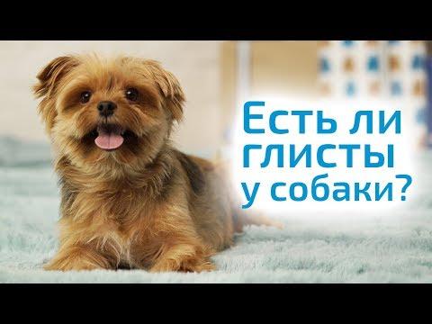 ГЛИСТЫ У СОБАКИ симптомы и лечение в домашних условиях. Как не заразиться глистами от собаки