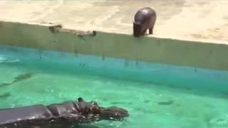 Baby Hippo First Dive