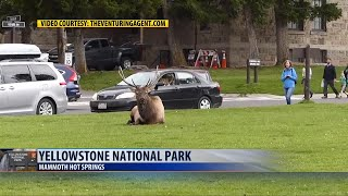 Second elk attack in Yellowstone Park caught on video