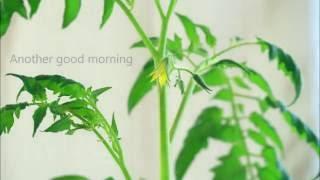 Timelapse of tomato flower - Video Youtube