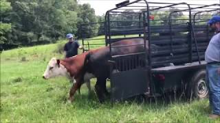 Buying Cows