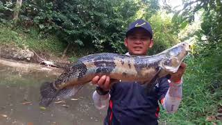 preview picture of video 'Fight ikan Peang SnakeHead dengan lure Senses Delta Frog'